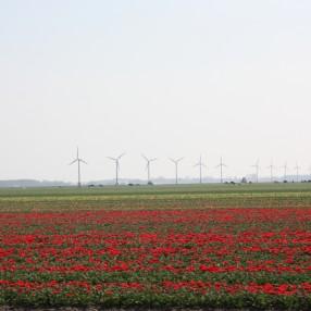 Bloemen Koeien Windmolens